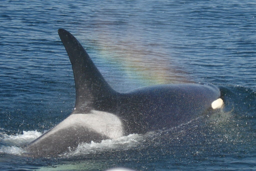 Port Townsend Orca